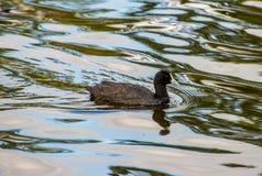 Natation eurasienne de foulque maroule dans l'étang Image stock