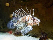 Natation exotique de Lionfish-zèbre dans le grand aquarium Image stock