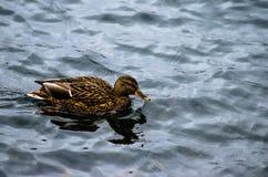 Natation femelle de canard de canard à travers un étang photographie stock libre de droits