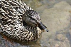 Natation femelle de canard de Mallard dans la crique Photos stock