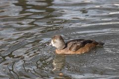 Natation femelle de Lesser Scaup sur un lac en automne image libre de droits