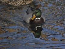 Natation femelle de Mallard dans le lac, platyrhynchos d'ana Photos stock
