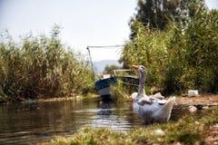 Natation grise de canard en rivière image libre de droits