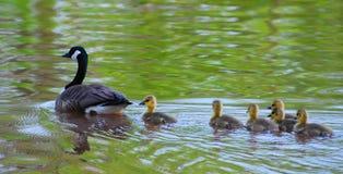 Natation heureuse de famille d'oies photographie stock libre de droits