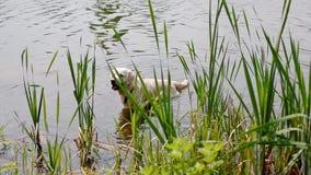 Natation heureuse de Labrador dans l'étang clips vidéos