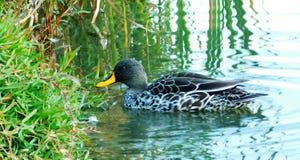 natation Jaune-affichée de canard Photos libres de droits