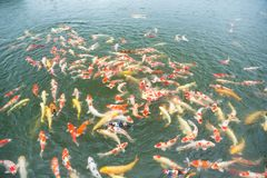 Natation Koi Fish Photos stock