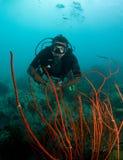 Natation mâle de plongeur autonome au-dessus de corail rouge Photo stock