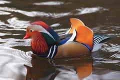 Natation masculine de canard de mandarine de plan rapproché (galericulata d'Aix), Photos stock