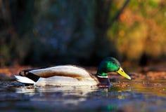Natation mâle de canard de colvert dans l'eau Image libre de droits
