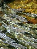 Natation saumonée sauvage dans le flot Image libre de droits