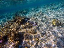 Natation sohal d'Acanthurus de surgeonfish de Sohal en eau peu profonde o image libre de droits