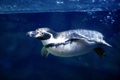Natation sous-marine bleue de pingouin sous le surfa de l'eau Image libre de droits