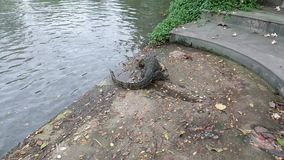 Natation thaïlandaise de lézard de moniteur de l'eau dans l'étang, salvator de Varanus banque de vidéos