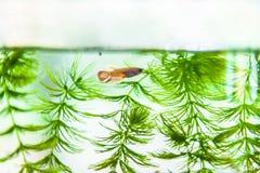 Natation tropicale de poissons dans l'aquarium ou l'aquarium allumé Photographie stock libre de droits