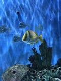 natation tropicale de poissons dans St Pete Beach Florida de réservoir Images libres de droits