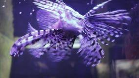 Natation venimeuse de poissons (Lionfish) dans l'aquatium banque de vidéos