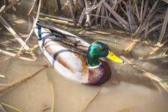 Natation vibrante de canard de canard parmi des roseaux dans le marais image libre de droits