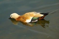 Natatorial bird ogar Tadorna ferruginea Stock Photo