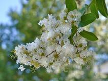 Natchez Crape Myrtle bloom. The white blooms of Crape Myrtle variety Natchez stock photo