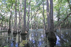 Natchez Trace Cypress swamp. Cypress swamp mirrored in standing blue water stock image