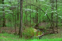 Natchez trace. White spring bloom along the Natchez trace in Mississippi stock image