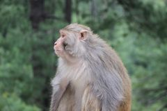 Monkey. Nathia Gali KPK in province Paksitan royalty free stock photography