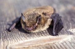 Nathusius pipistrelle Pipistrellus nathusii nietoperz Obraz Stock
