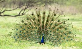 Peacock display. National animal of India. Beautiful feather display to attract females. Shot in Bharatpur rajasthan Stock Photos