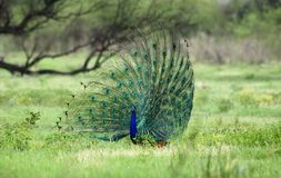 Peacock display. National animal of India. Beautiful feather display to attract females. Shot in Bharatpur rajasthan Royalty Free Stock Photo
