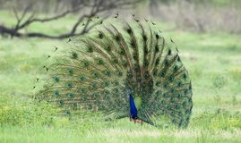 Peacock display. National animal of India. Beautiful feather display to attract females. Shot in Bharatpur rajasthan Stock Photo