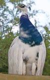 Peacock proud bird open forest stock photo