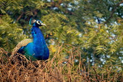 National bird , India. Blue on green background Stock Photos