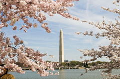 National Cherry Blossom Festival. 3-29-08 on the Tidal Basin in Washington DC. The Washington Monument in the background Stock Images