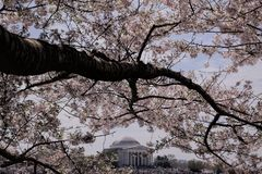National Cherry Blossom Festival in Washington, D.C.