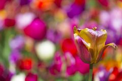 National Colorful Dutch Tulips Of The Selected Sorts Shot Against Blurred Background Stock Photo