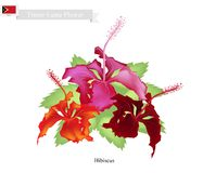 National Flower of Timor Leste, Hibiscus Flowers Royalty Free Stock Photos