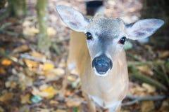 National Key Deer Refuge Key Deer, Big Pine Key, Florida Keys, Royalty Free Stock Images
