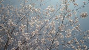 National Park Alishan cherry blossom season, Tainan, Taiwan stock video footage