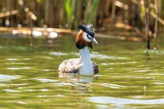 National Park Biesbosch, The Netherlands, Great Crested Grebe swimming