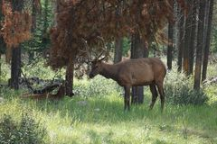 Elk Elch National Park Canada Royalty Free Stock Image