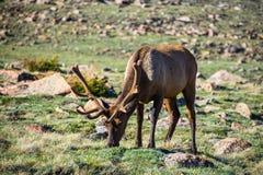 National Park Elk in Velvet Stock Images