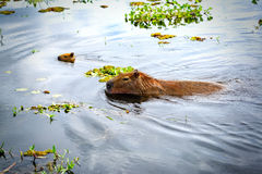 Capybaras (Hydrochoerus hydrochaeris), the largest rodents in the world. Wetlands in Nature Reserve Esteros del Ibera, Colonia Ca. NATIONAL PARK ESTEROS DEL royalty free stock photo
