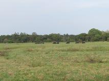Wild Elephant Safari Tour in Sri Lanka stock image