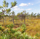 National park of Kemeri in Latvia. View to the lawn in bog Royalty Free Stock Image