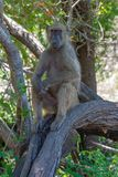 baboon in african mammal national park kruger stock photography