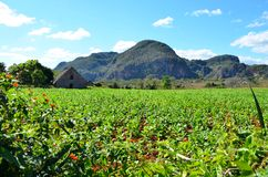 National park Vinales and its tobacco farms Stock Image