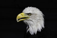 National pride - the American bald eagle Stock Photos