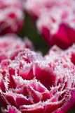 National Rose Dutch Tulips Of Queensland Kind Against Blurred Background. Royalty Free Stock Photography