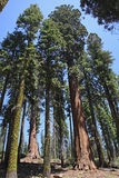National Sequoia Park Trees Royalty Free Stock Photos